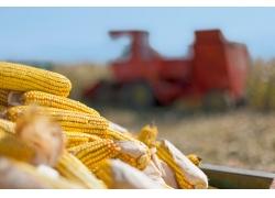 收割机和玉米