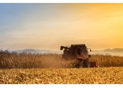 秋天稻田里收割机