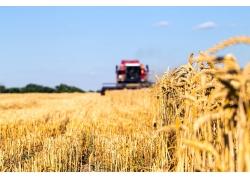 金色稻子收割机