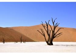 沙漠上的枯树