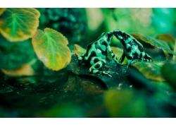 树叶上的青蛙