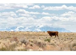 草原上的黄牛