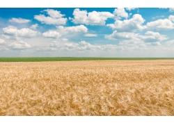 蓝天下的小麦