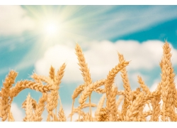 天空下小麦背景