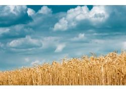 天空与小麦摄影