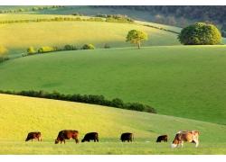 草原上的奶牛