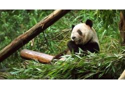 吃竹子的熊猫