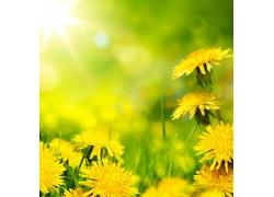 阳光下的蒲公英花