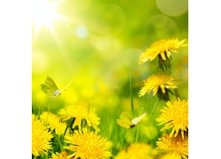 蒲公英花和蝴蝶
