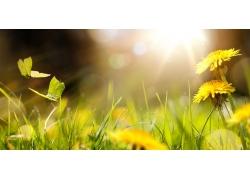 阳光蒲公英花和蝴蝶
