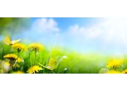 草地上的蒲公英花