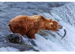 捕鱼的狗熊