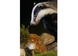 蘑菇石头狗獾图