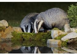石头湖水两只狗獾