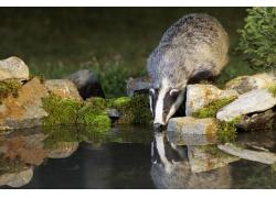 水池边喝水的狗獾