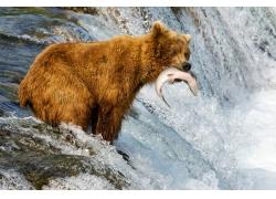 水里咬到鱼的狗熊