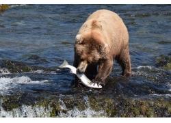 吃鱼的狗熊