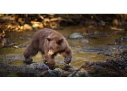 石头河流狗熊