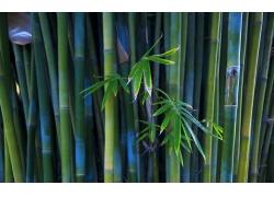 高清竹子摄影