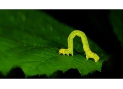 树叶上的虫子