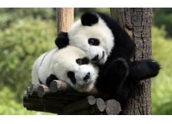 抱树的熊猫