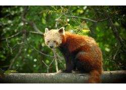 树木上的小熊猫