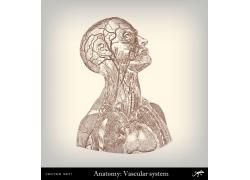 人体血管素描