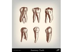 人体牙齿素描