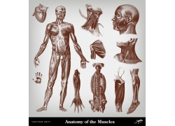 男性肌肉素描