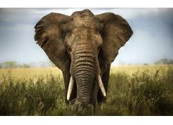 草地上的大象