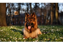 草地上的狗