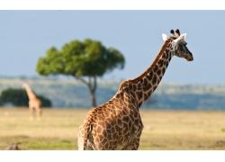 草原上的长颈鹿