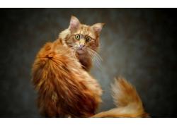 高清宠物猫摄影
