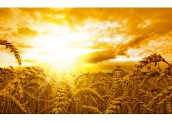 夕阳下的麦田