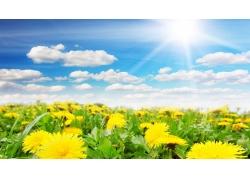 蒲公英鲜花风景