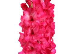 红色水仙花