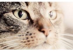 瞪着眼睛的猫
