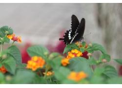 绿叶上的黑蝴蝶