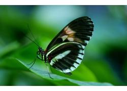 绿叶上的黑色蝴蝶