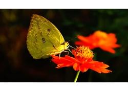 红色花朵与黄色蝴蝶