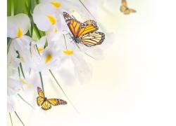 白色花朵上的蝴蝶