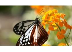 黄色花朵上的蝴蝶