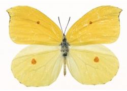 一只黄色蝴蝶