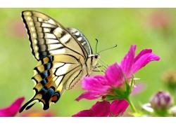 粉色花朵与蝴蝶