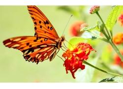 红色花朵上的蝴蝶