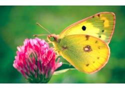 粉色花朵上的黄色蝴蝶