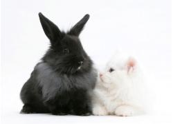 黑色兔子与猫