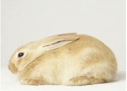 趴着的兔子