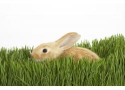 草地里的兔子