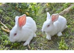 野外的兔子